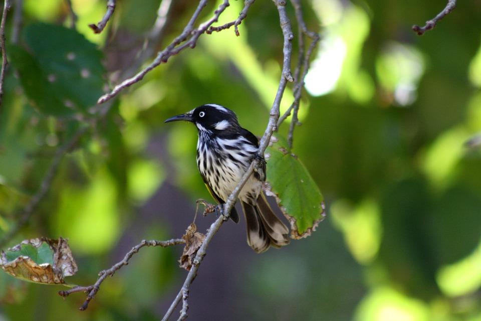 New Holland Honeyeater, Bird, Branch, Animal, Wildlife