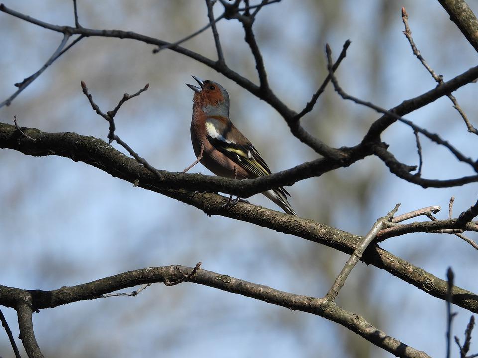 Chaffinch, Bird, Branch, Tree, Singing, Twitter, Nature