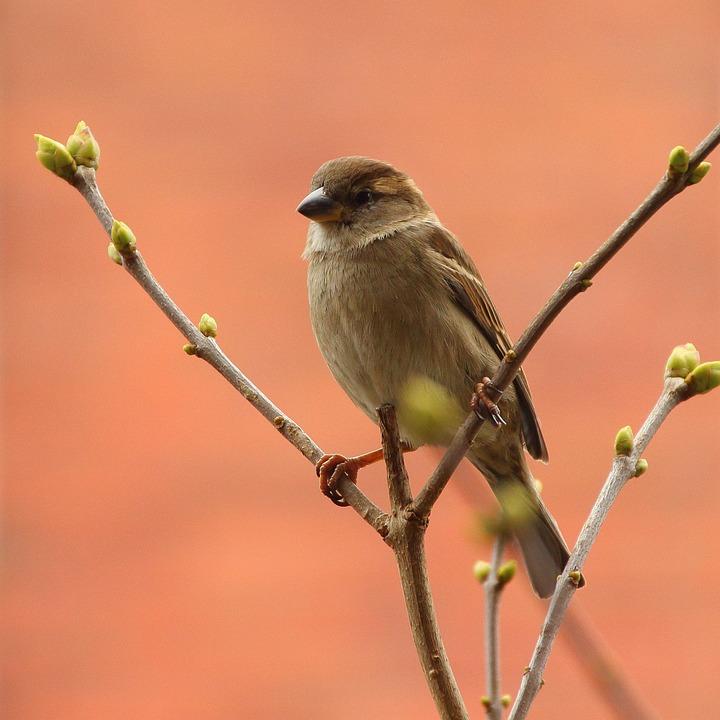 Sperling, Songbird, Sparrow, Bird, Nature, Branch
