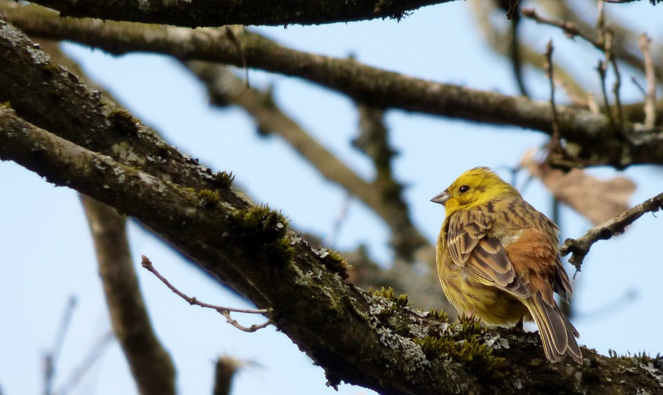 Bird, Yellowhammer, Tree, Branch