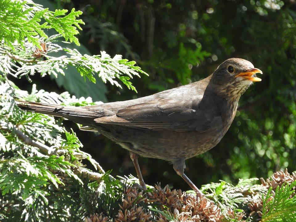 Bird, Branch, Twitter, Blackbird, Bill, Nature