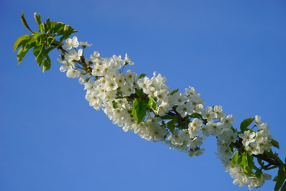 Cherry Blossom, Blossom, Bloom, Cherry, White, Branch