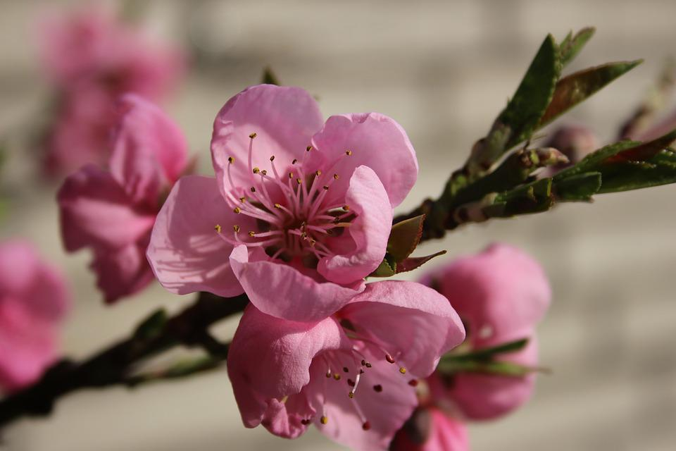 Peach Blossom, Blossom, Bloom, Pink, Nature, Branch
