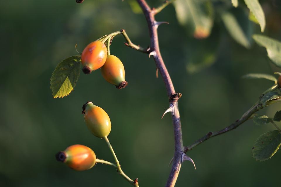 Rose Hip, Berries, Branch, Thorns, Bush, Summer, Nature