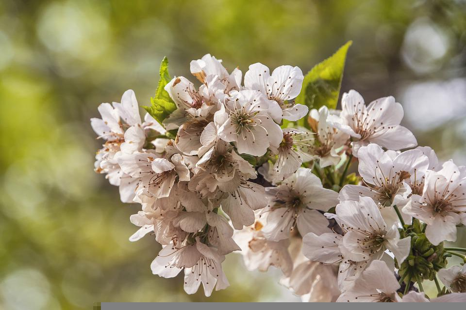 Cherry Blossom, Flowers, Spring, Petals, Branch, Bloom