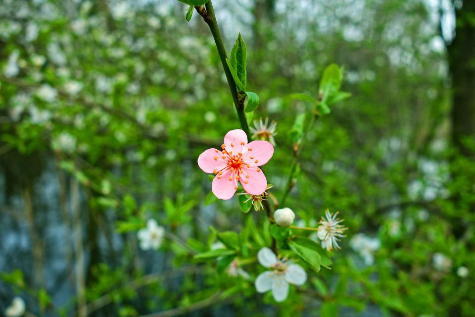 Cherry Blossom, Cherry Tree, Branch, Flowering