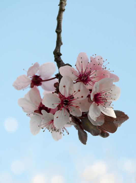 Flower, Cherry, Branch, Nature, Flora, Blooming, Bright