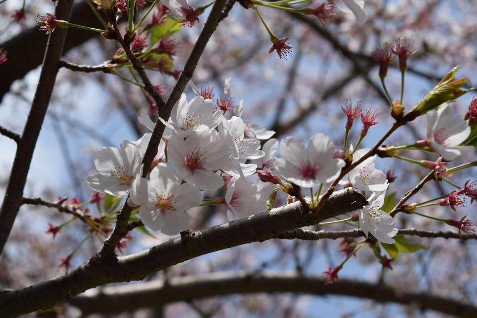 Tree, Branch, Cherry, Flower