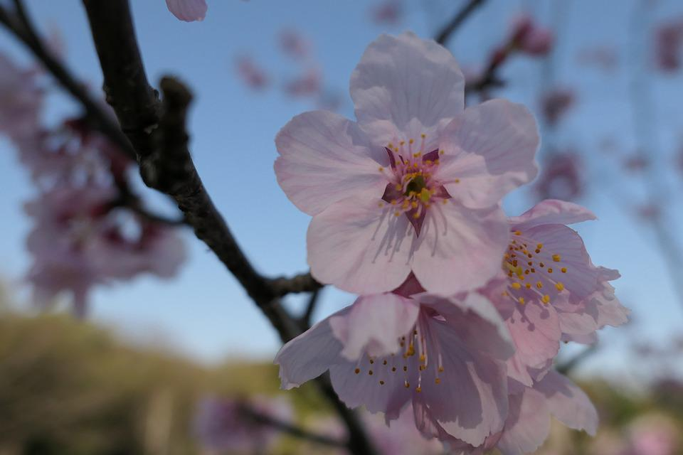 Flowers, Cherry, Wood, Branch