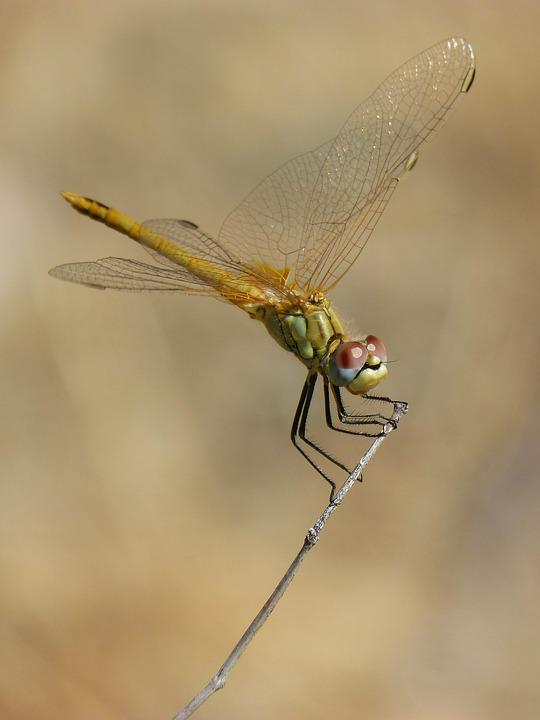 Dragonfly, Sympetrum Striolatum, Odonato, Branch
