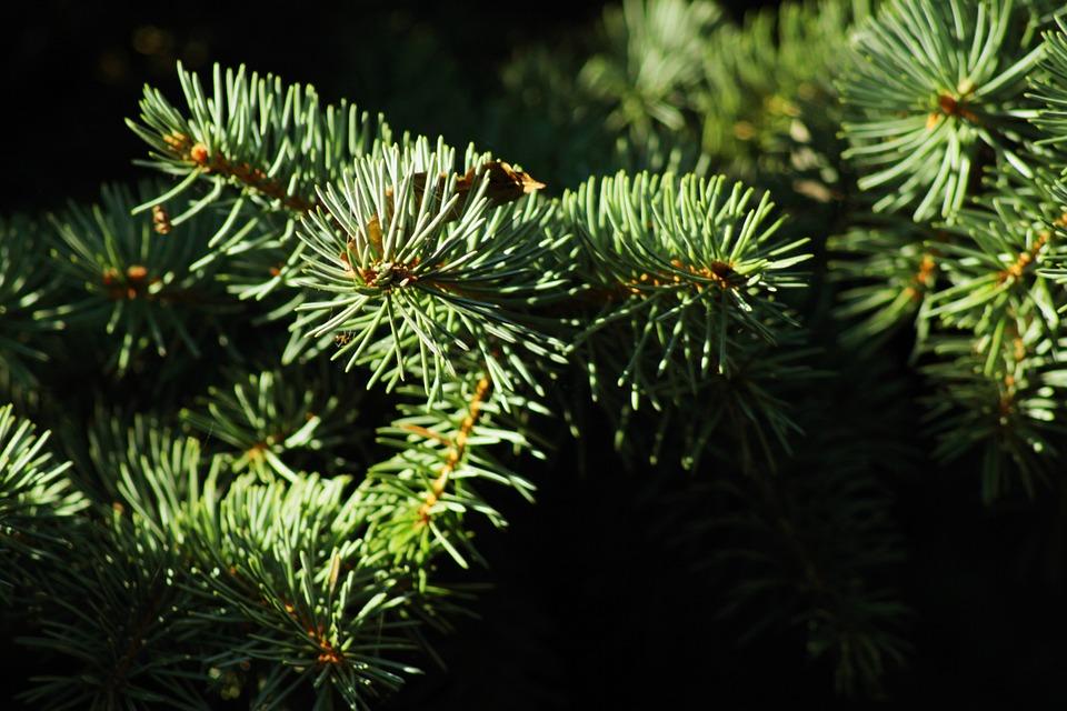 Green, Branch, Nature, Close, Periwinkle, Fir