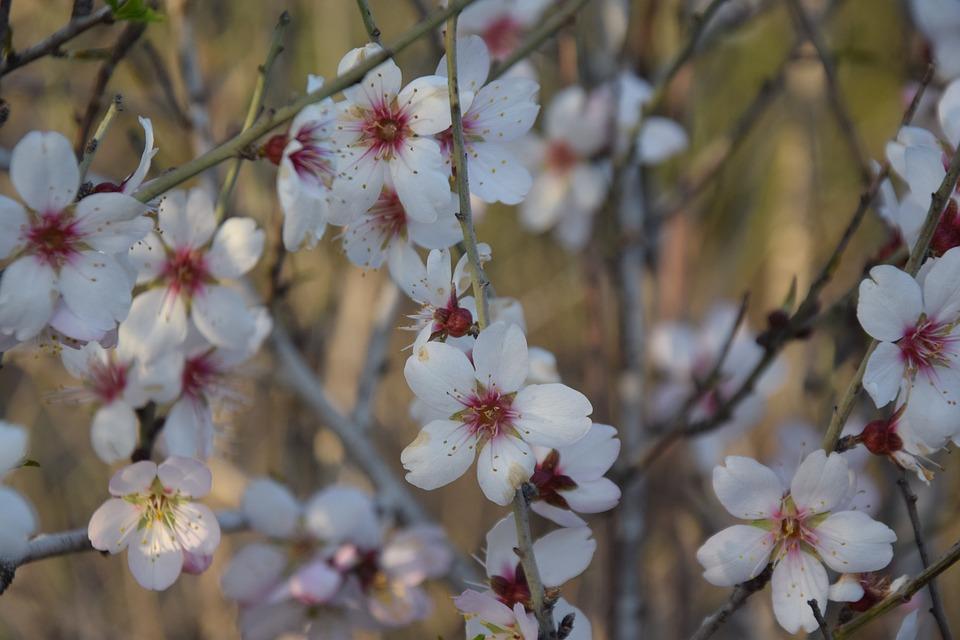 Branch, Flower, Tree, Almond, Nature