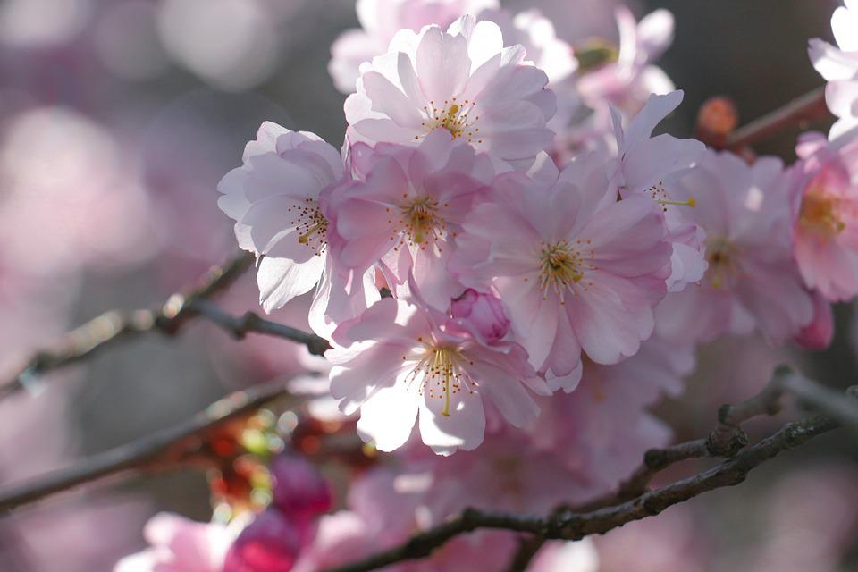 Blossom, Pink, Spring, Nature, Flowers, Branch