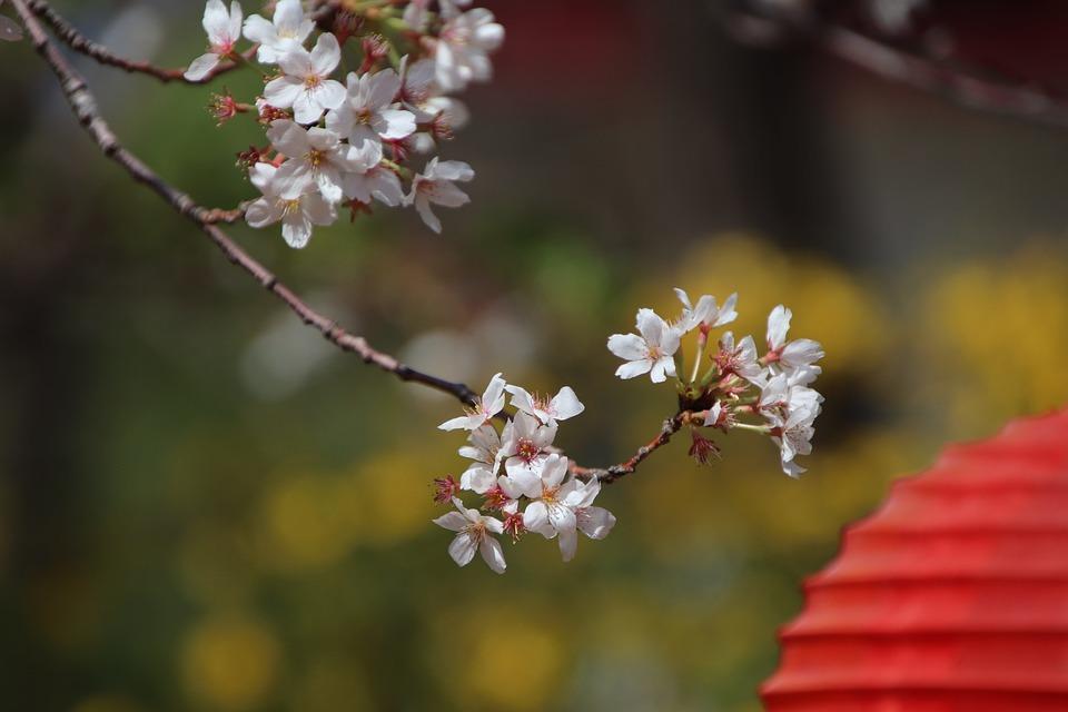 Flowers, Branch, Cherry Blossom, Sakura, Plant