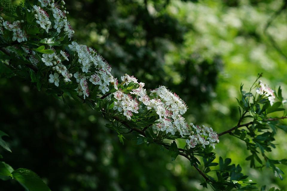 Flowers, Hawthorn Blossom, Branch, Spring, Bloom