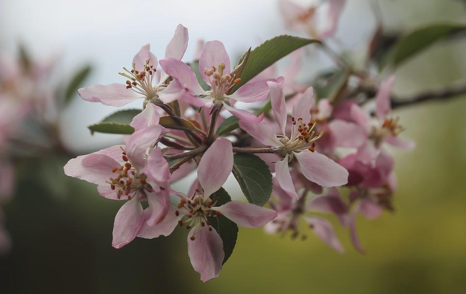 Paradise Apple Tree, Flowers, Blossom, Twig, Branch