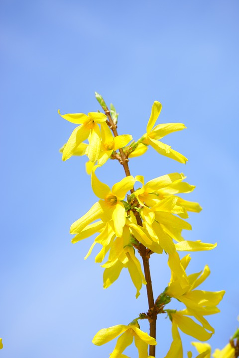 Forsythia, Blossom, Bloom, Yellow, Branch, Gold Lilac