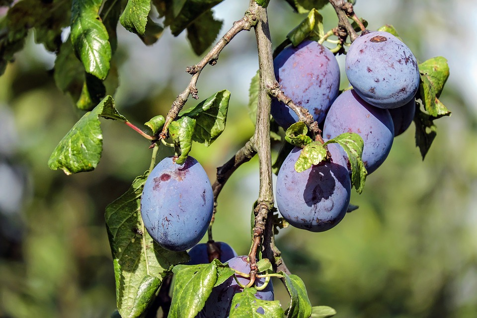 Plum, Fruit, Blue Violet, Plum Tree, Branch
