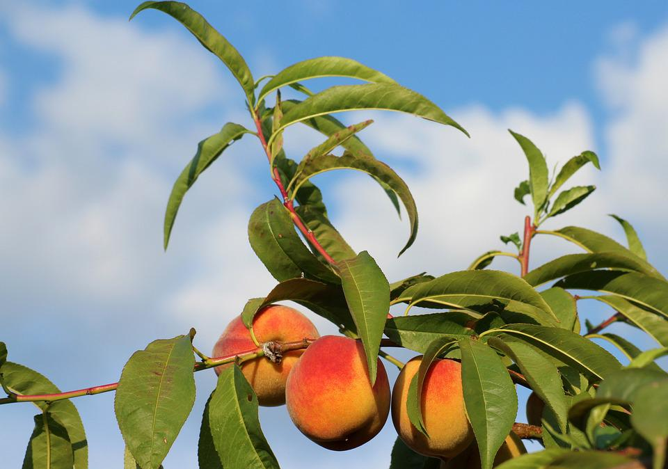 Peach, Fruit Tree, Fruit, Branch, Plant, Nature, Summer