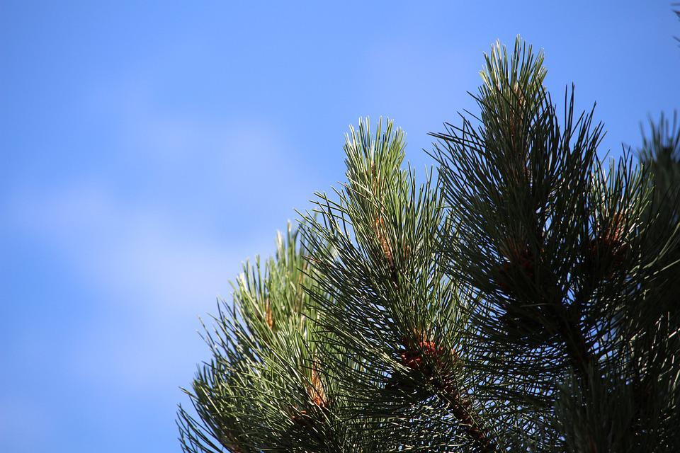 Pine, Conifer, Tree, Needles, Branch, Green