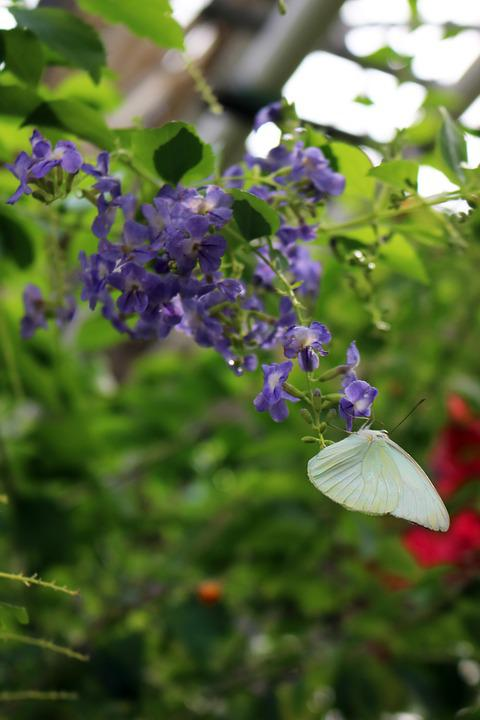 Butterfly, White, Branch, Leaf, Leaves, Green, Purple
