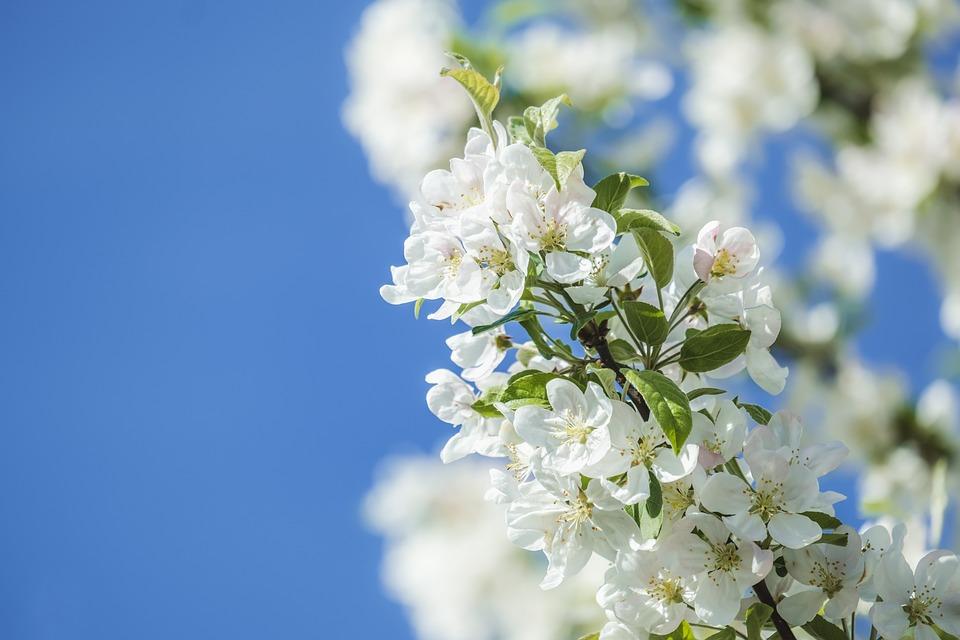Flowers, Apple Tree, Branch, Leaves, Blossom