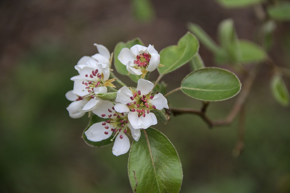 Pear Blossoms, White Flowers, Branch, Leaves, Bloom