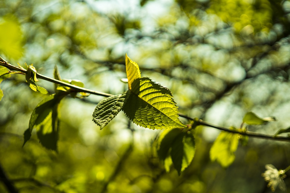 Beech, Leaf, Leaves, Green, Spring, Plant, Branch, Tree