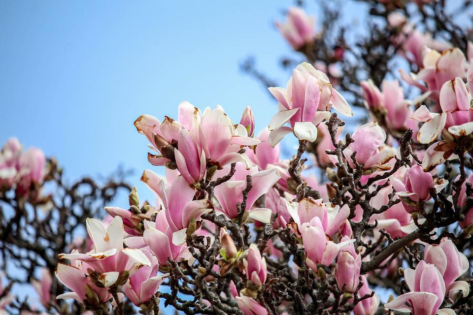 Flower, Flora, Nature, Magnolia, Branch