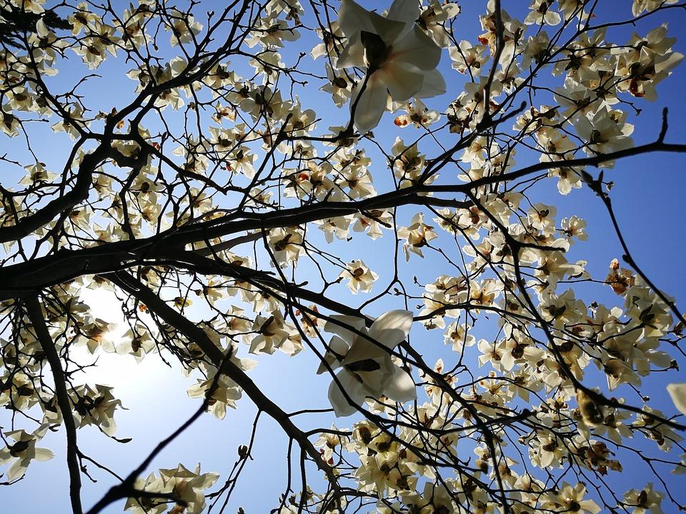 Magnolia, Tree, Branch, Nature, Outdoor