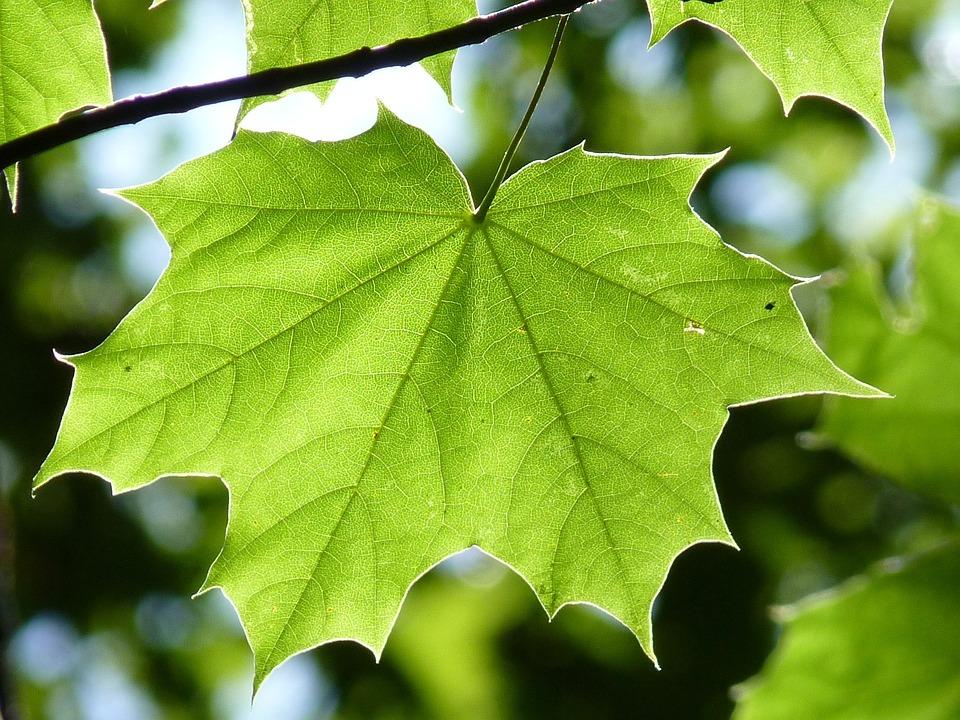 Maple, Branch, Leaf, Maple Leaf, Green Leaf, Tree