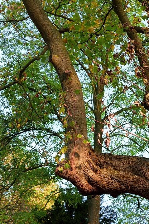 Tree, Branch, Leaves, Maple, Autumn, Tree Bark, Bark