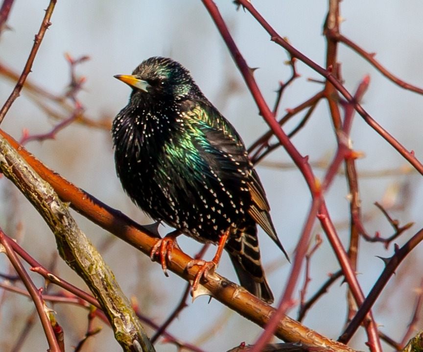 Starlings, Birds, Perched, Tree, Nature, Branch, Avian