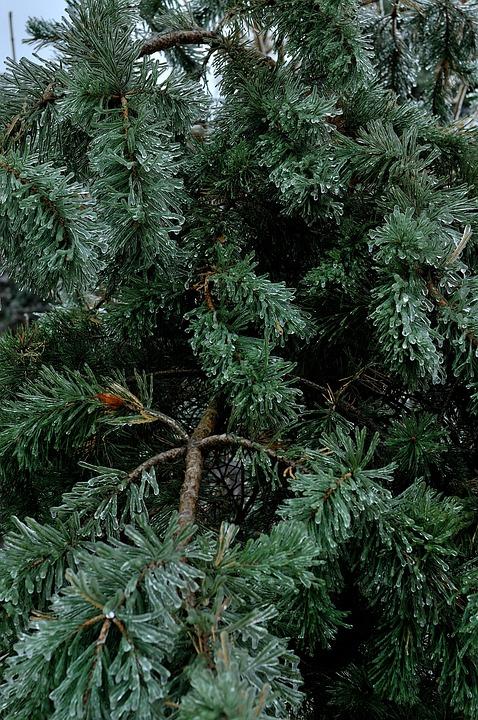 Ice, Winter, Nature, Tree, Needles, Branch, Pine