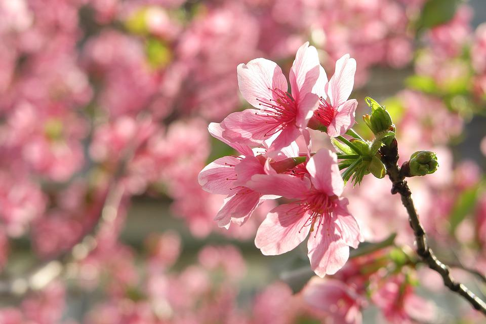 Flower, Plant, Nature, Garden, Branch, Cherry Blossom