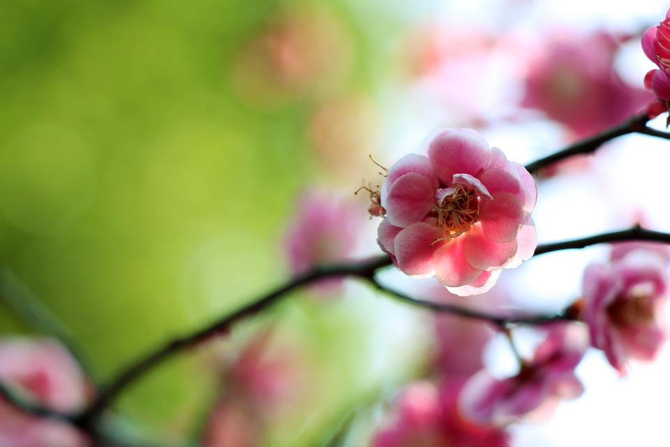 Flower, Nature, Plant, Branch, Tree, Plum Blossom
