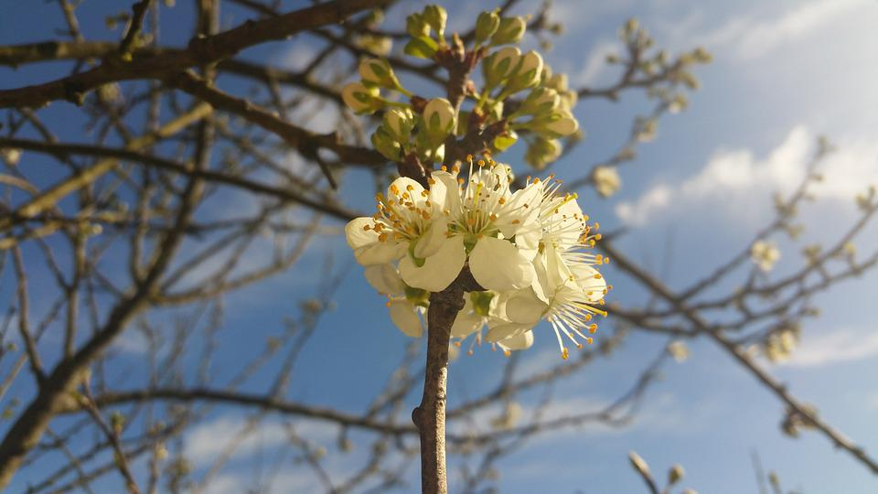 Plum Blossom, Tree, Branch, Twig, Summer, Sun, Nature
