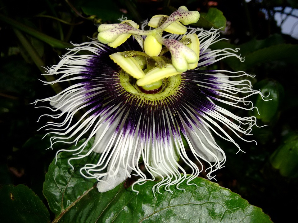 Flower, Passion Fruit, Branch, Passion Flower