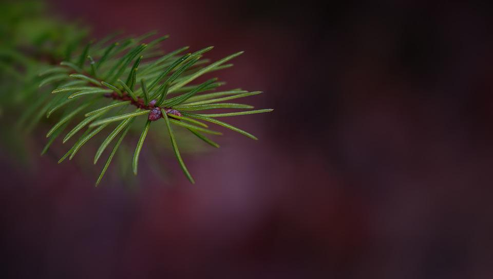 Branch, Conifer Show, Pine Branch, Spruce, Plant