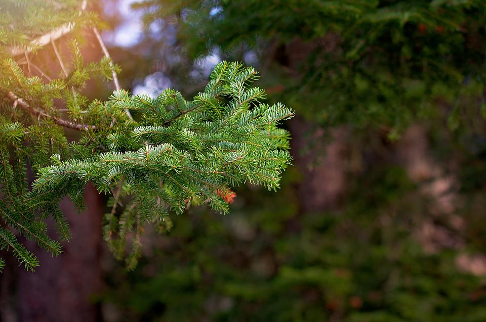 Conifer, Branch, Nature, Spruce, Tree, Pine Branch