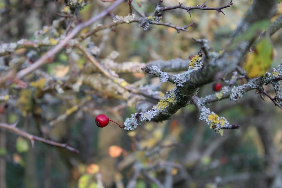 Rose Hip, Aesthetic, Autumn, Nature, Branch, Plant