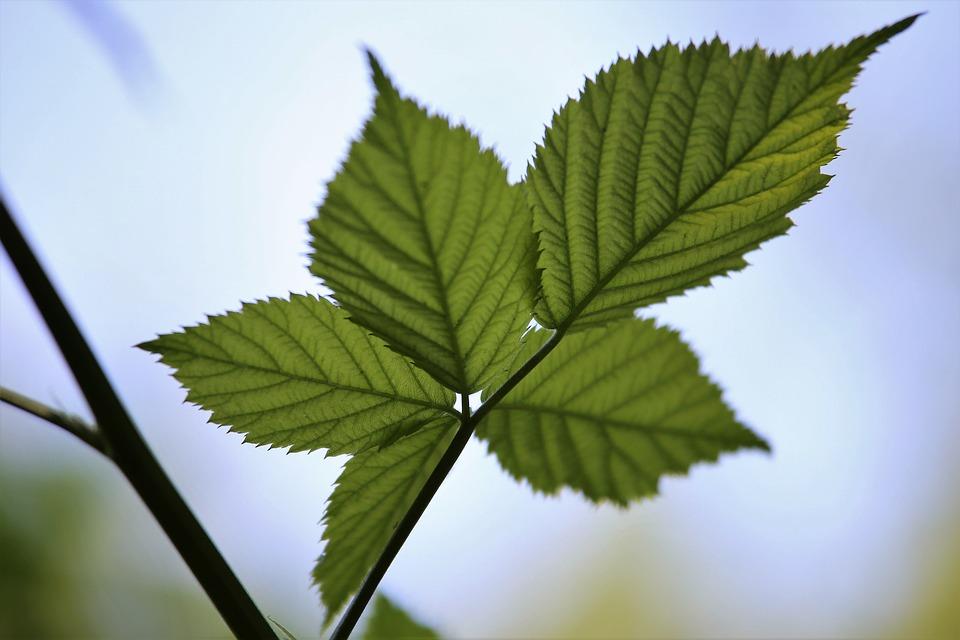 Blackberry Leaves, Branch, Plant, Green, Blue Sky