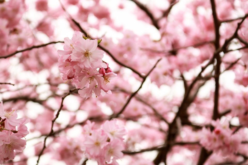 Cherry Wood, Flower, Tree, Branch, Plant, Season