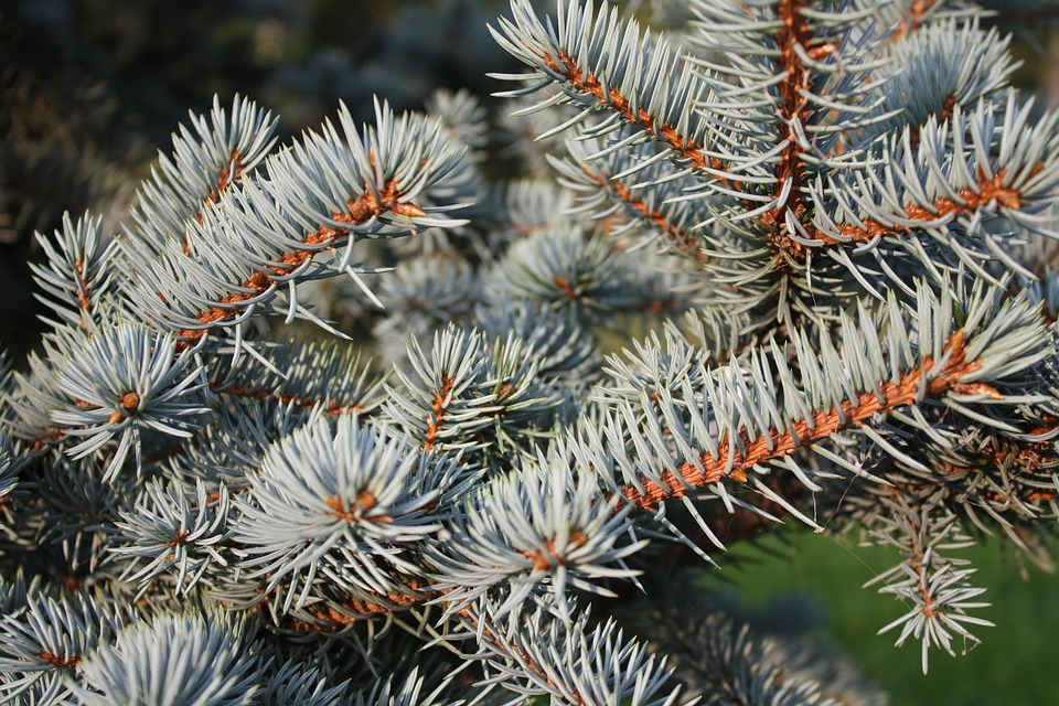 Spruce, Branch, Needles, Tree, Nature, Plant, Conifer