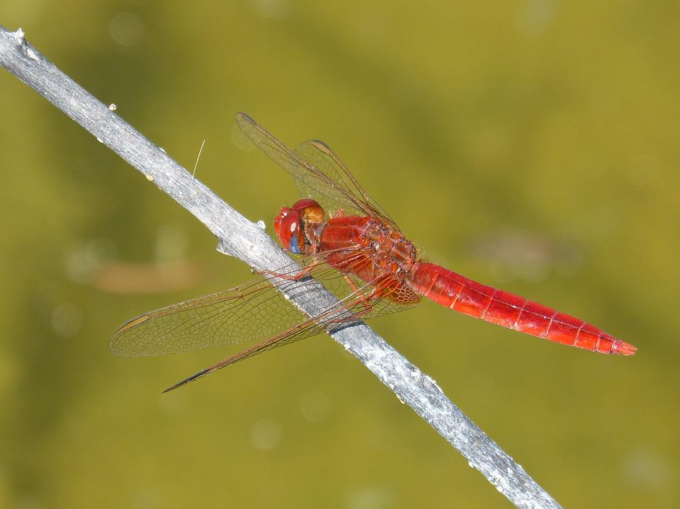 Red Dragonfly, Branch, Wetland, Pond