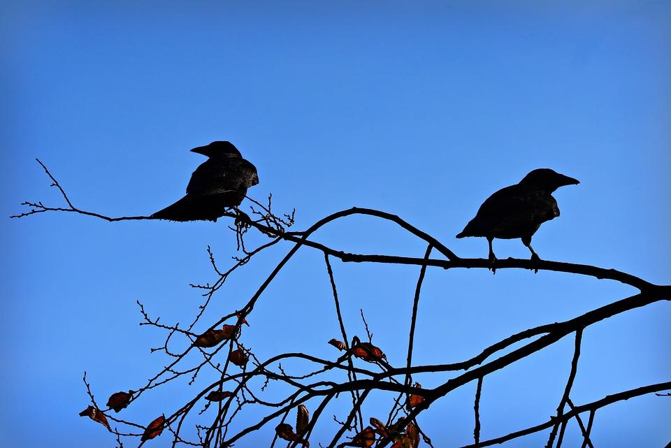 Crow, Bird, Animal, Corvus, Branch, Sitting