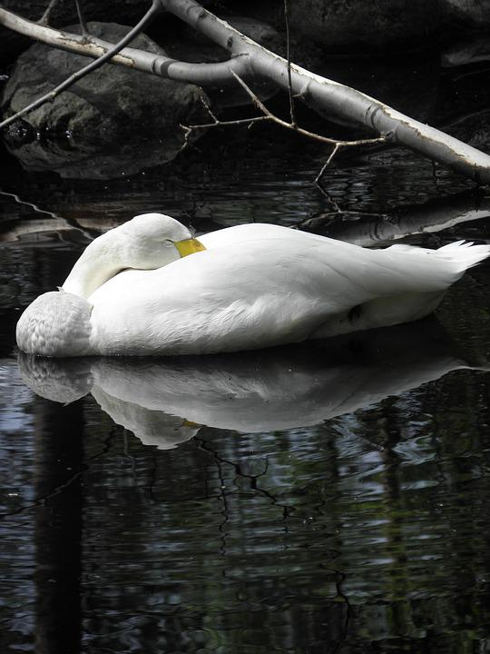 Swan, Pond, Branch, Sleeping, Waterfowl, Animal, White