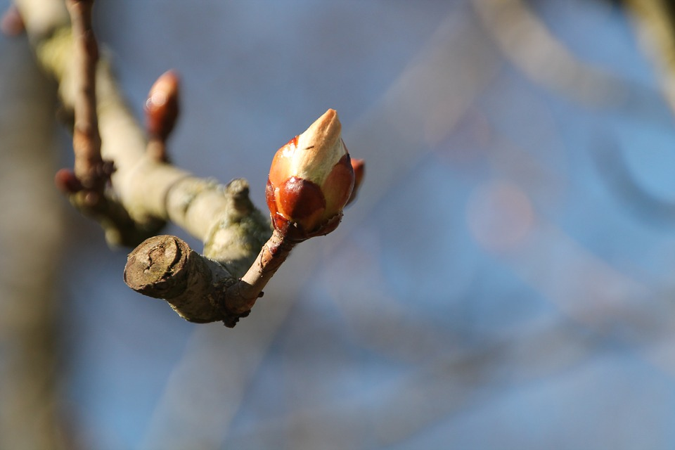 Bud, Spring, Chestnut, Bloom, Tree, Branch, Sky, Nature