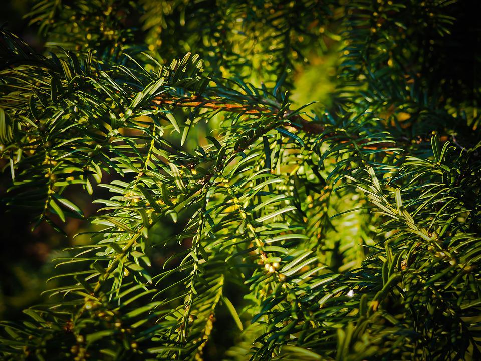 Fir, Branches, Tannenzweig, Pine Needles, Branch