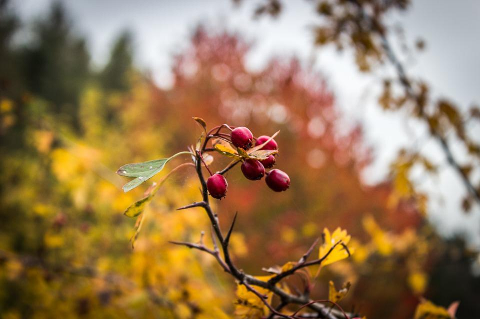 Fruit, Berry, Red, Yellow, Fall, Tree, Branch, Nature